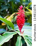 red ginger  alpinia purpurata  | Shutterstock . vector #114811078