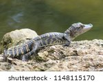 Baby Alligator On Rocks By Water