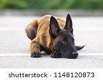 cute belgian shepherd malinois...   Shutterstock . vector #1148120873
