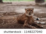 cheetah is a large cat of the... | Shutterstock . vector #1148227040