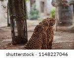 cheetah is a large cat of the... | Shutterstock . vector #1148227046