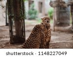 cheetah is a large cat of the... | Shutterstock . vector #1148227049