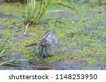 white wagtail or motacilla alba.... | Shutterstock . vector #1148253950