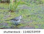 white wagtail or motacilla alba.... | Shutterstock . vector #1148253959