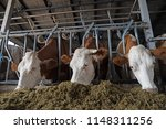 Cows On Farm Eating Hay In The...