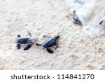 Small photo of Baby green turtles moving towards the ocean