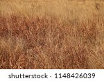 Grassland With Red Grass...