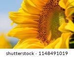 sunflower texture and... | Shutterstock . vector #1148491019