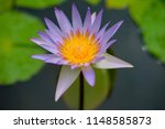 beautiful lotus in the pond | Shutterstock . vector #1148585873