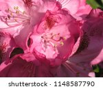 rhododendron pink white | Shutterstock . vector #1148587790