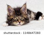 Cute Tabby Kitten Maine Coon On ...