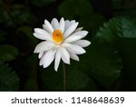 white lotus flower growing in a ...   Shutterstock . vector #1148648639