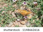 Small photo of Macro Variegated Fritillary Butterfly (Euptoieta claudia) on Natural Vegetation on the Pawnee National Grasslands in Colorado