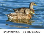 two ducks swimming next to each ... | Shutterstock . vector #1148718239