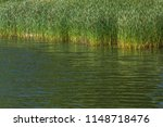reed growing at a lakeside in... | Shutterstock . vector #1148718476
