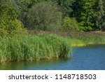 reed growing at a lakeside in... | Shutterstock . vector #1148718503