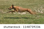 Stock photo greyhound is running in pursuit of a mechanical hare rabbit stretched leg 1148739236