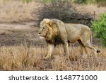 dominant male lion walking... | Shutterstock . vector #1148771000