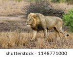 dominant male lion walking... | Shutterstock . vector #1148771000