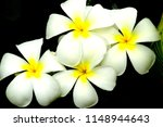 frangipani tropical flowers... | Shutterstock . vector #1148944643