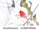red northern cardinal bird ...
