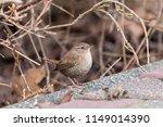 eurasian wren  troglodytes... | Shutterstock . vector #1149014390