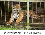 tiger in cage | Shutterstock . vector #1149146069