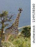 south african giraffe or cape... | Shutterstock . vector #1149158360