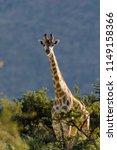 south african giraffe or cape... | Shutterstock . vector #1149158366