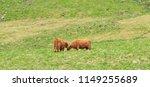 highland cattle  highland cow... | Shutterstock . vector #1149255689
