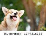 Stock photo corgi dog smile and happy in summer sunny day 1149316193