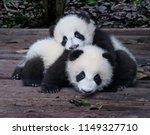 baby giant pandas playful and... | Shutterstock . vector #1149327710