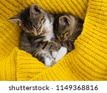Stock photo two striped kittens are wrapped in a yellow knitted scarf seals play friendship of pets the cat 1149368816
