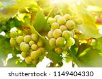 green vine branch at the rural...   Shutterstock . vector #1149404330