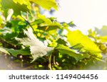 vine leaves as a background   Shutterstock . vector #1149404456