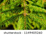 pine tree twigs as a background   Shutterstock . vector #1149405260