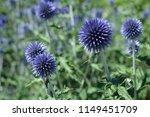 Blue Globe Or Hedgehog Thistle...