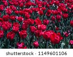 Flowering Of Red Tulips