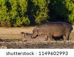 common hippopotamus or hippo ... | Shutterstock . vector #1149602993