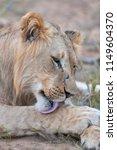 Lion  Panthera Leo  Licking It...