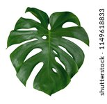 monstera plant leaf  the... | Shutterstock . vector #1149618833