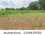 agricultural damage drought in... | Shutterstock . vector #1149619520