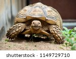 sulcata tortoise is herbivores. ...   Shutterstock . vector #1149729710