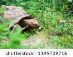 sulcata tortoise is eating on...   Shutterstock . vector #1149729716