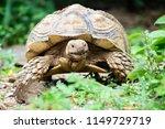 sulcata tortoise is herbivores. ...   Shutterstock . vector #1149729719