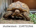 sulcata tortoise is herbivores. ...   Shutterstock . vector #1149731966