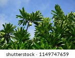 sea mangos in the tree. kauai ... | Shutterstock . vector #1149747659