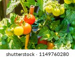 close up of cherry tomatoes... | Shutterstock . vector #1149760280