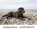 chocolate labrador on the beach | Shutterstock . vector #1149765473