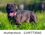 american bully dog breed on the ... | Shutterstock . vector #1149773060